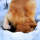 Goldies love snow and digging! by Winksy
