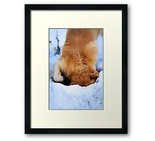 Goldies love snow and digging! Framed Print