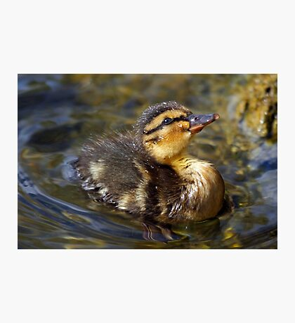 Little duckling Photographic Print