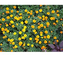 Top view of a big flower bed of yellow flowers Photographic Print