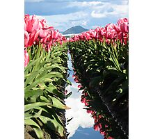Skagit Valley Pink Tulips Photographic Print