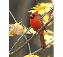 Northern Cardinal Photographic Print
