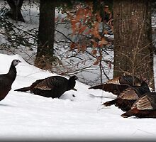 Winter Turkey Parade by smalletphotos