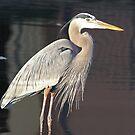 Great blue heron  in full breeding plummage by jozi1