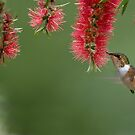 Scintillant Hummingbird in Flight by Raymond J Barlow