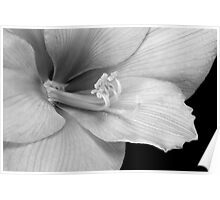Black and White Amaryllis Bloom Poster