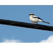 Loggerhead Shrike ~ Marana, Az Photographic Print