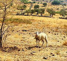 "Israel series I: ""lone sheep on a mountain"" by matthew a. donovan"
