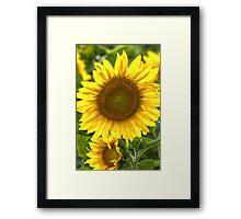 """Sun Catcher"" - Sunflower in Michigan Framed Print"
