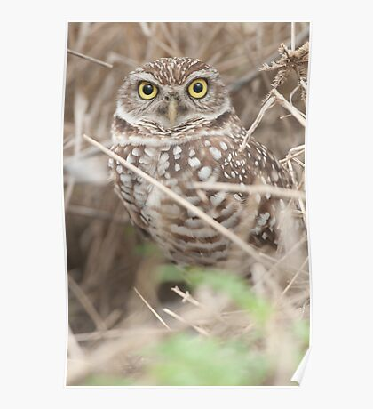 """Burrowing Eyes"" - burrowing owl in Cape Coral, Florida Poster"