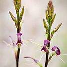 Cryptostylis leptochila - Small Tongue Orchid by Malcolm Garth