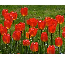 Tulips in the West of the Lake Gardens Photographic Print