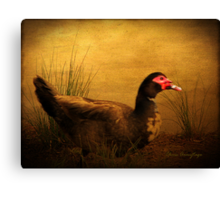 Maurice the Muscovy Canvas Print