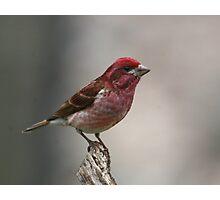 Purple Finch Photographic Print
