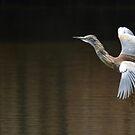 Squacco Heron by Macky