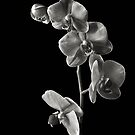 Phalaneopsis Cluster in Black & White by Endre