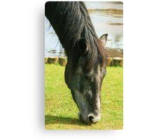 Grey Pony Canvas Print