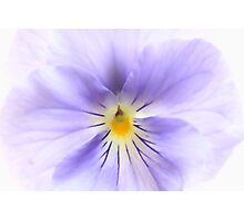 Close up Pansy  Photographic Print