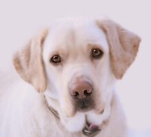 KEZ007's Labrador - edited version by BYRON