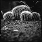 Cactus, Sydney Botanical Gardens - Yashica 635 by 58glass