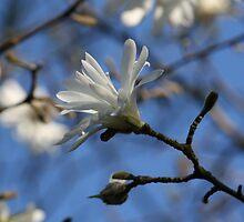 Magnolia by RosiLorz