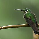 Female Green-crowned Brilliant. by Raymond J Barlow