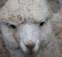 Alpaca Baby by Pamela Jayne Smith