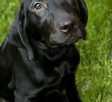 Hello - black lab puppy by laurenmacphotog
