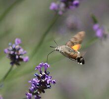 Lavender by ♠Mathieu Pelardy♣  ♥Photographe♦