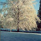 Copper beech in it's winter finery!!! by poohsmate