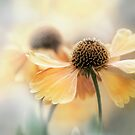 Helenium heaven by Mandy Disher