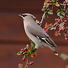 Bohemian Waxwing by Willem Hoekstra