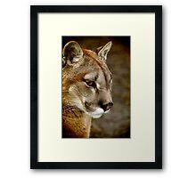 A pensive Puma portrait Framed Print