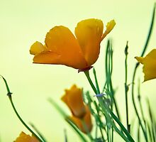 California Poppies by Susie Peek