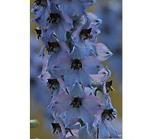 Delphinium . Norway . by Brown Sugar. Views - 297. Photographic Print