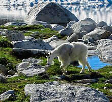 Mountain Goat by Kristin Nelson