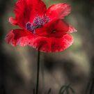 Poppy Dreams by geoff curtis