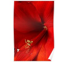 Amaryllis Hippeastrum Close-Up Poster