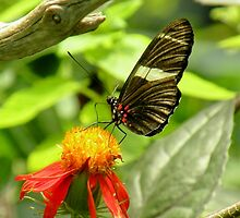 Black and white butterfly on yellow and red flower by Martha Sherman