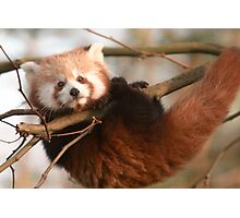 Awesome Red Panda Photographic Print