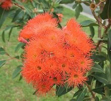 Orange Gum Blossoms by Michael John