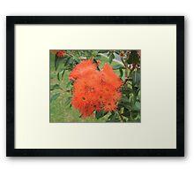 Orange Gum Blossoms Framed Print