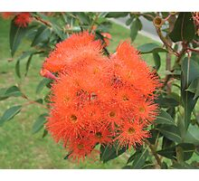 Orange Gum Blossoms Photographic Print