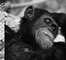 Chimpanzee by JimFilmer