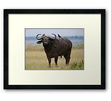 Buffalo and Oxpeckers Framed Print