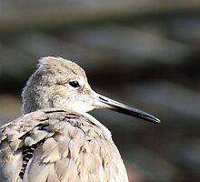 Willet Portrait by Bunny Clarke