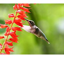 Ruby throated Hummingbird Photographic Print