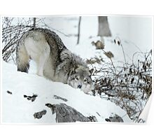 Crouching Timber Wolf Poster