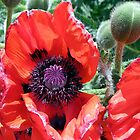 Heart Of A Poppy by George Cousins