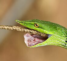 The Green Predator - Vine snake & Garden Lizard, India by DrHari